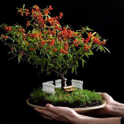 Ateş dikeni minyatür bonsai bahçesi