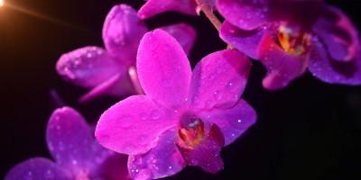 orkide_phalaenopsis_mor_paspasin-bahceleri